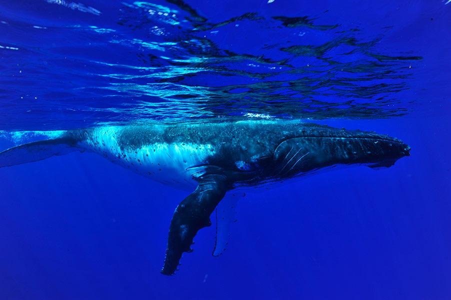 Croisiere-tahiti-baleine-7