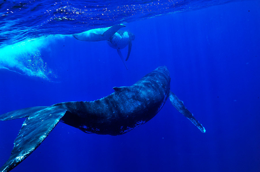 Croisiere-tahiti-baleine-8