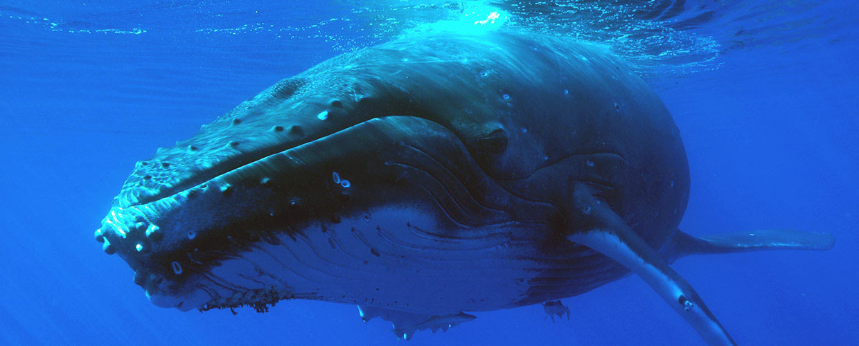 croisiere-tahiti-catamaran-sailanddive-baleine