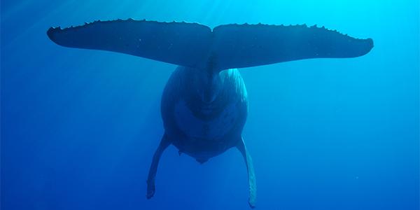 Croisiere Catamaran Baleine
