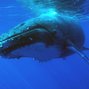 Croisiere-tahiti-baleine-3