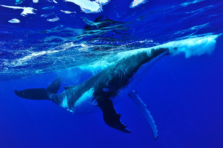 Croisiere-tahiti-baleine-6