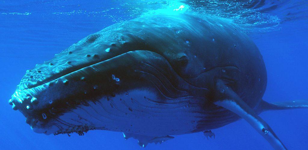 Croisiere Tahiti Catamaran Sailanddive Baleine