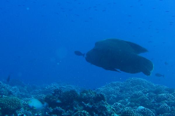 Croisiere Tahiti Plongee Napoleon Rangiroa