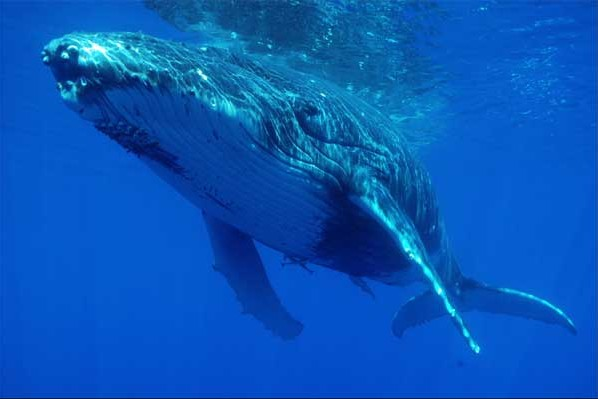 Croisiere Tahiti Plongee Safari Baleine