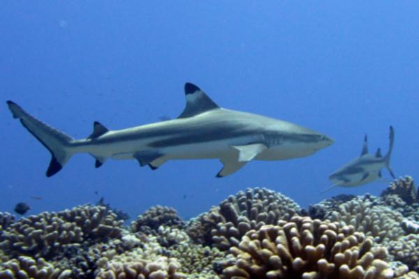 Croisiere Tahiti Rangiroa Observation Requin