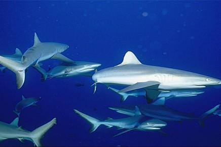 Croisiere Tahiti Tuamotu Requin