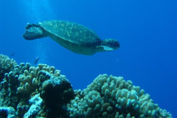 Croisiere Tortue Tahiti Rangiroa