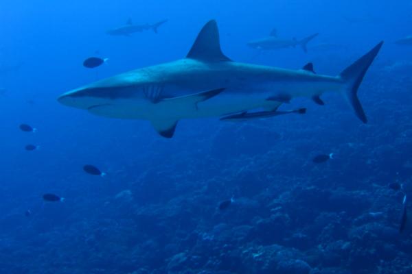 Requin Croisiere Tahiti Rangiroa