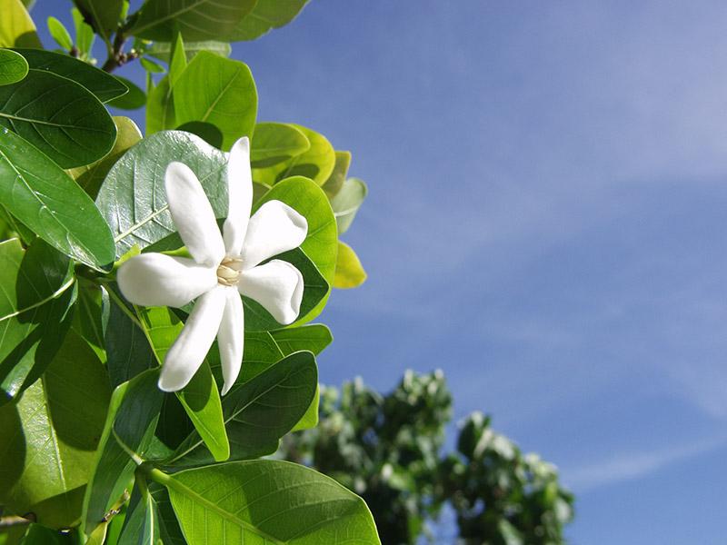 Tahiti-fleur-croisiere-2