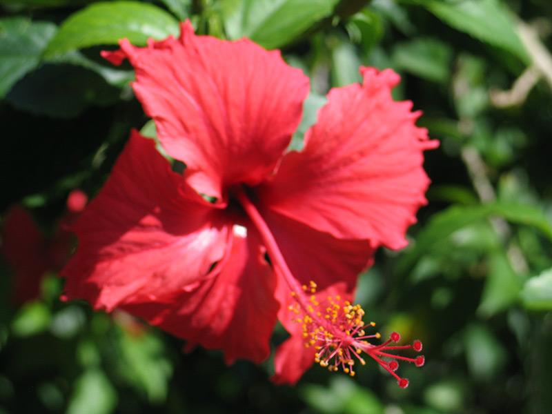 Tahiti-fleur-croisiere