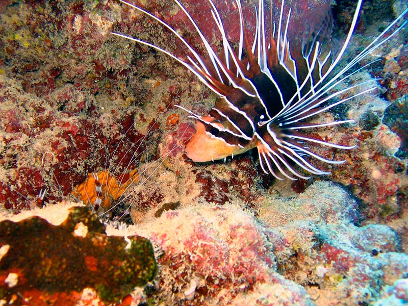 Plongee-poisson-scorpion-tahiti
