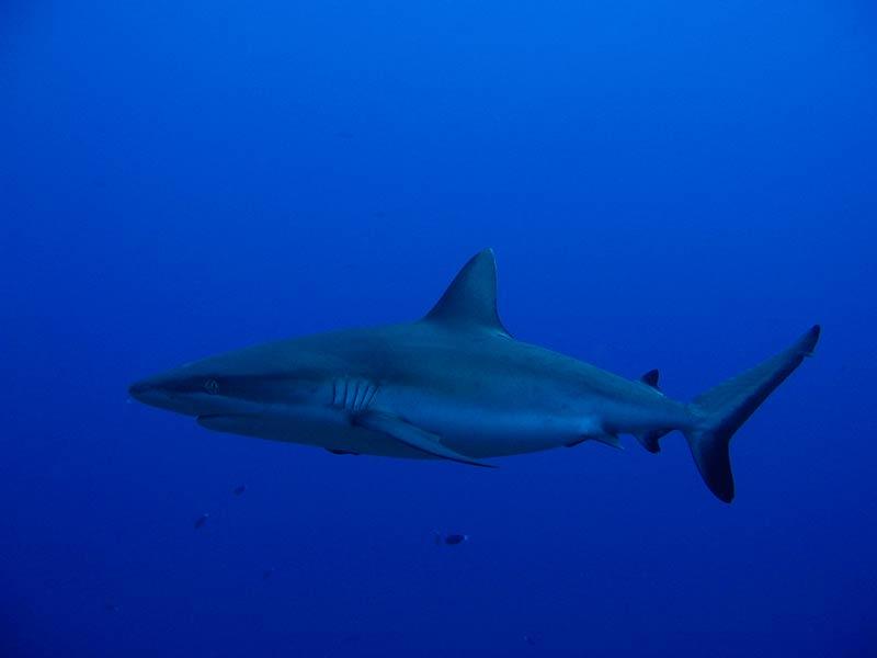 Plongee-tahiti-requin-3