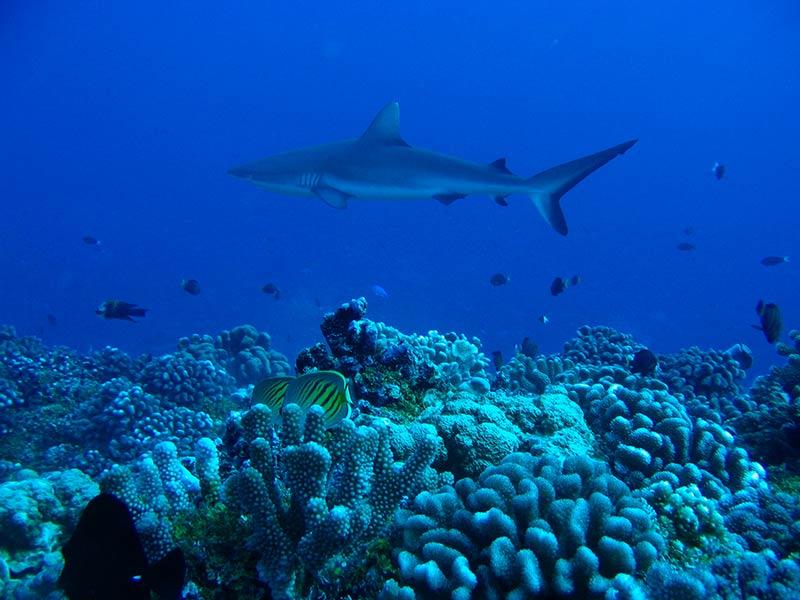 Plongee-tahiti-requin-5