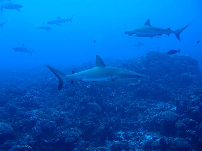 Plongee-tahiti-requins-9