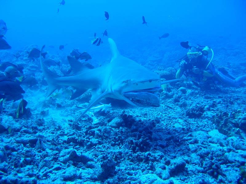 Plongee-tahiti-requins