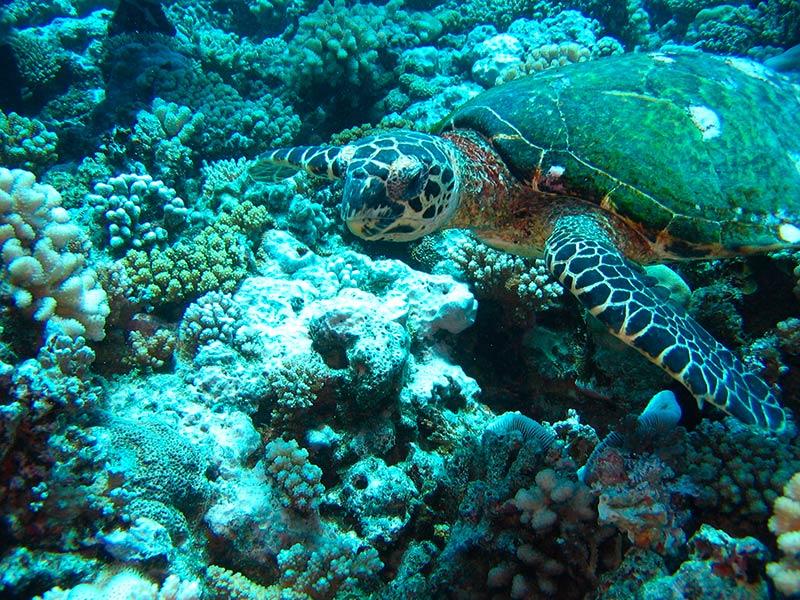 Plongee-tahiti-tortue