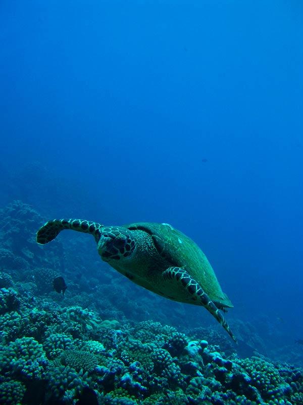 Plongee-tahiti-tortue2